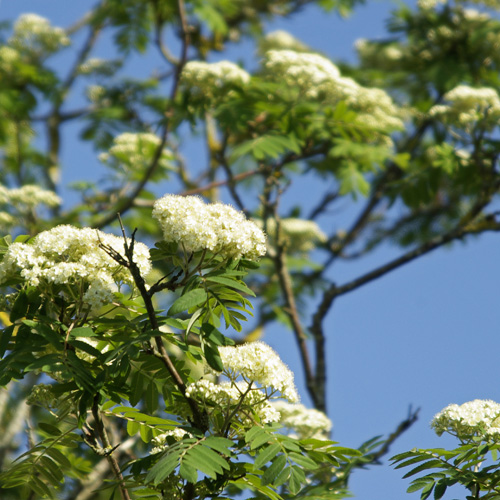 mountain ash blossom and green ash leaves
