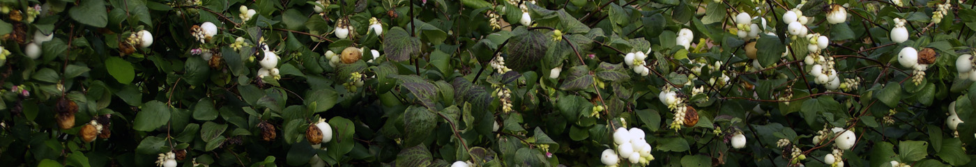 white snowberries against a dark green background