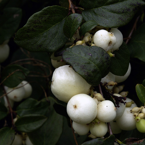 clump of white snowberries