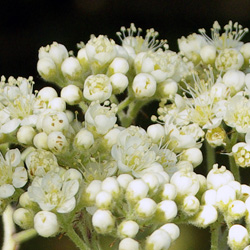 mountain ash blossom