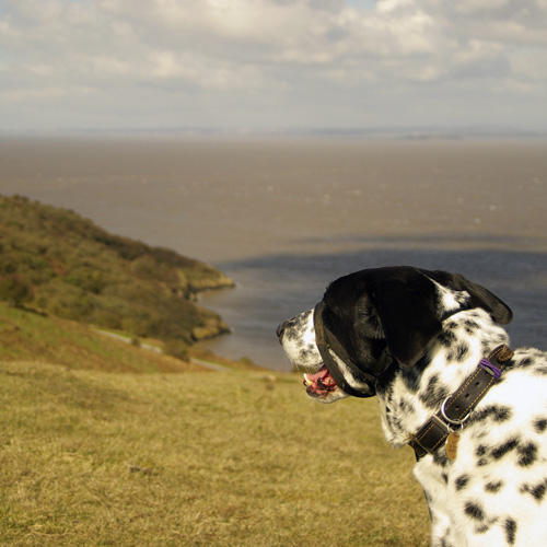dalmation dog looking wistfully into the distance