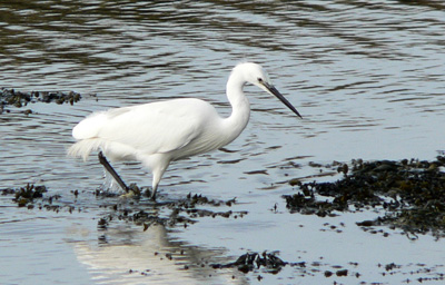 little egret hunting in shallow water
